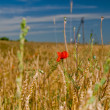 Poppy in wheat field — Stock Photo