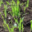 Growing grass on ground — Stock Photo