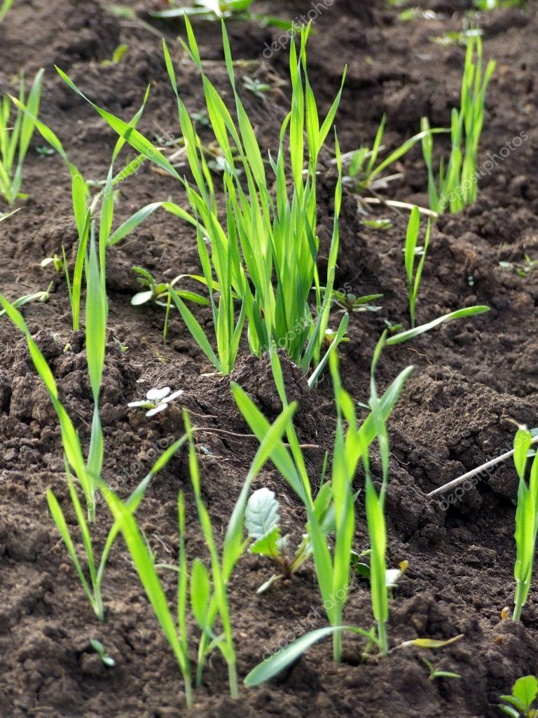 Growing grass on ground  Stock Photo #1513855