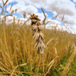 Farm - wheat macro - Stock Photo