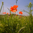 Red poppies on green field — Stock Photo