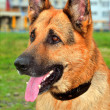 German Shepherd — Stock Photo #2649498