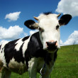 Cow — Stock Photo #1085241