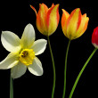 Spring daffodils and tulips — Stock Photo