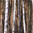 Trunks of trees - Foto de Stock