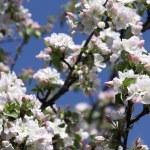 Apple blossoms — Stok fotoğraf