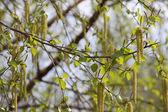 The dismissed birches — Stock Photo