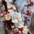 Close-up apricot flowers - Stock Photo
