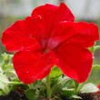 Red petunia — Stock Photo #1109081