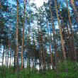 Pine trees - Stock Photo