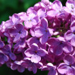 Stock Photo: Lilac in blossom