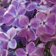 Lilac in blossom — Stock Photo