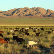 Stock Photo: Herd of goats in Mongoliprairie