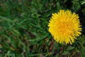 Close-up dandelion — Stock Photo