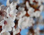 Paradise apple tree in blossom — Stock Photo