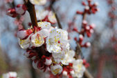 Close-up apricot flowers — Stock Photo