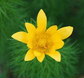 Yellow adonis — Stock Photo