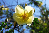żółty dzikiej róży w kwiat — Zdjęcie stockowe