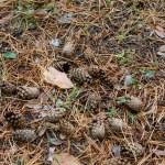 otoño textura con piñas — Foto de Stock