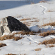 Stock Photo: Hiding ptarmigan