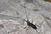 Big black bug — Stock Photo