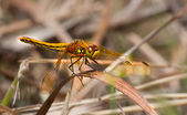 Tired dragonfly — Stock Photo
