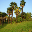 Stock Photo: Palm trees in Sochi arboretum