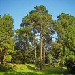 Morning in a pine forest — Stock Photo