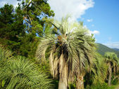 Palm tree in Abkhazia — Stock Photo