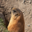 Royalty-Free Stock Photo: Marmot