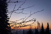 Twigs and trees in morning — Stock Photo