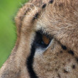 Royalty-Free Stock Photo: Cheetah head