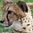 Постер, плакат: Curious cheetah