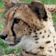 ������, ������: Curious cheetah