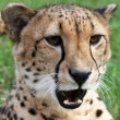 ������, ������: Angered cheetah