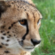 Stock Photo: Tame cheetah