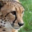 Постер, плакат: Tame cheetah