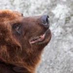 Begging bear — Stock Photo #1145395