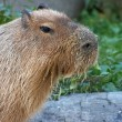 Royalty-Free Stock Photo: Feeding capybara