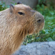 Feeding capybara — Stock Photo