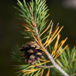 Pine cone — Stock Photo #1145584