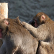 Stock Photo: One monkey grooming another