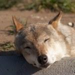 Постер, плакат: Sleeping wolf