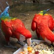 Stock Photo: Feeding Scarlet Macaws