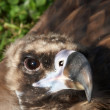 Stock Photo: Vulture looking at you