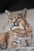 Persian lynx — Stock Photo