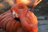 Sleeping flamingo — Stock Photo