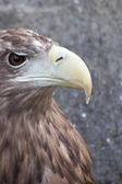Proud eagle — Stock Photo