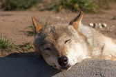 Sleeping wolf — Stock Photo
