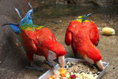 Feeding Scarlet Macaws — Stock Photo